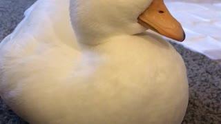 Adorable Duck Dozing Off