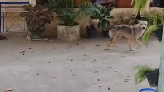 Funny tiger prank with dogs.