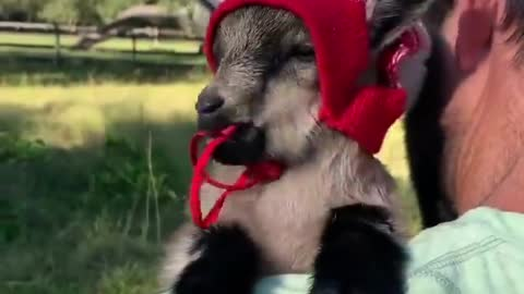 Baby sheep with a hat