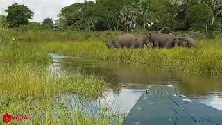 elephant save baby from crocodile