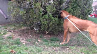 Harley the 13-Month old Boxer Puppy Meets Her First Cat