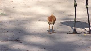 Sandhill Crane Chicks Follow their Parents