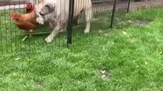 Bulldog loves his chickens just a little too much