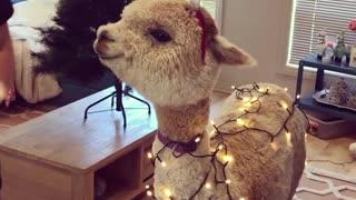 Alpaca Shows off Christmas Spirit