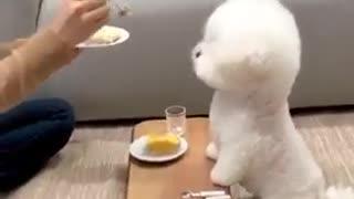 Cute little Maltese puppy dogs