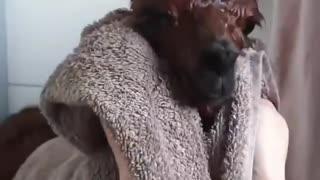Beautiful alpaca in bathroom after the shower