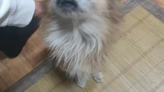 Video of a puppy singing a birthday song