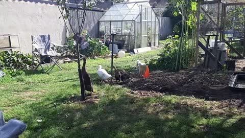 Young runner ducks in the garden