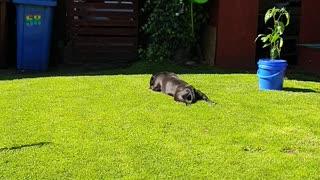 my staffy enjoying the sunshine