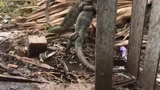Lizard Battling Behind Fence