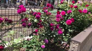 Street Rose in Tokyo, Japan. Beautyful ♥