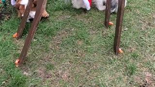 The Christmas Charlie's Angles dogs