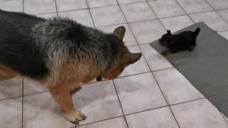 Yorkie vs German Shepherd