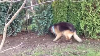 Crazy German Shepherd Dog Playing With Squeaky Toy