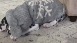 A puppy's first sweater