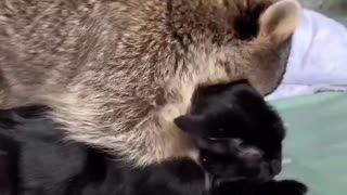 Raccoon Loves to Cuddle Kitty