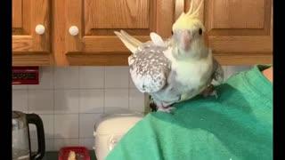 Cockatiel attack