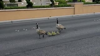 Geese Wandering Along the Las Vegas Strip