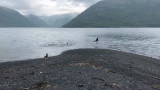 Orcas Come in Close to the Coast