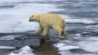Ice breaks under Polar Bear