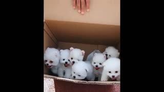 😍 Funny and Cute Pomeranian #6 😍 Perritos bebes lindos 🐱💗