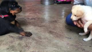 Rottweiler puppy meeting Pomeriyan puppy First time