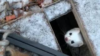 Weasel in northern maine