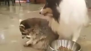 Dog and raccoon eating together in one plate