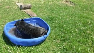 Happy Pig Plays in Pool