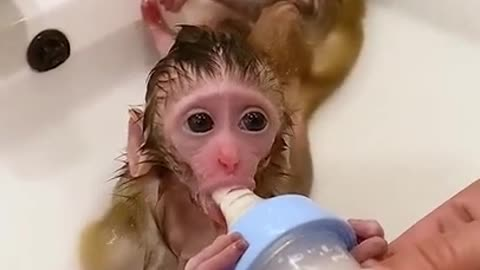 Cute and funny monkey Videos cutest moment of the monkey - Cutest monkey