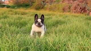 Adorable puppy hop