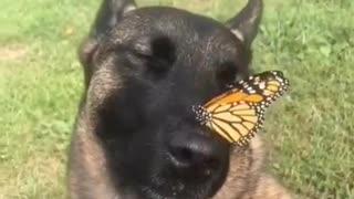 Cute german shepherd likes butterflies