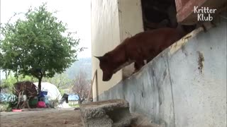 Heartbreaking cow get separated from the dog she raised