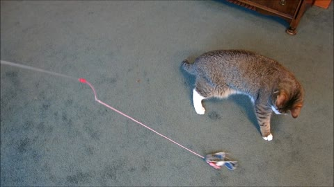 Blind kitten plays with favorite toy
