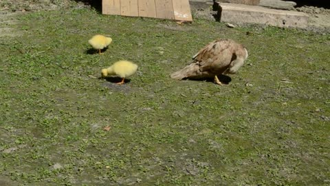 Ducklings feeding in a field - With beautiful music