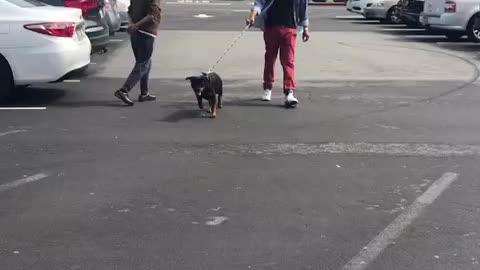 Koji The Rottweiler