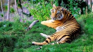 Tigers Mirage Theme 3