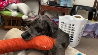 Great Dane pup whines when he chews his squeaky toy