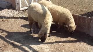 ovejas en el parque
