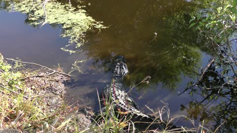 Female American Alligator with its babies
