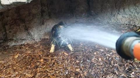 Turnip the Tortoise Loves Shower Time