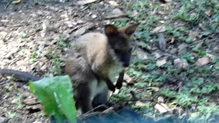 funny kangaroo communicates with people