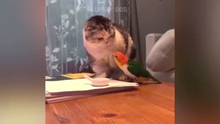 Smart parrot fighting with cat