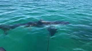 Crazy Close Encounter with Curious Great White