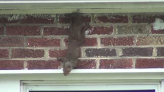 Squirrel...sending a warning