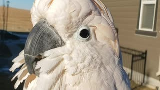 Talking cockatoo literally barks at the neighbor's dog