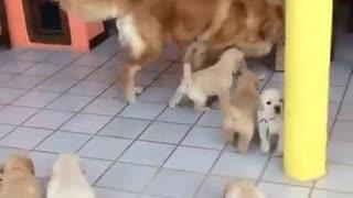 NewBorn Golden Retriever Puppies