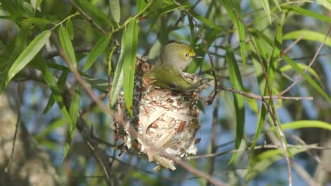 White-eyed Vireo in a nest in a windy day