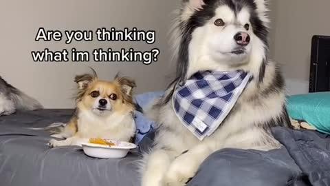 husky funny dog part 1 2022