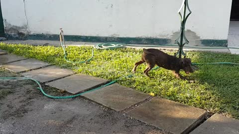 Five month-old Chocolate Lab loves to play with the water hose